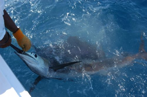 Catch & Release with a Marlin off of Quepos, Costa Rica