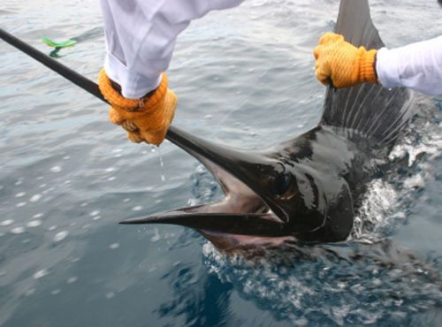 Catch & Release with a Sailfish off of Quepos