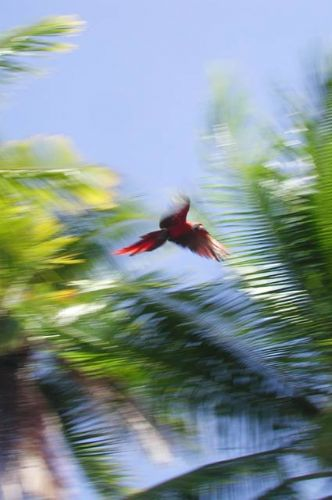 Scarlet Macaw in Flight, Corcovado