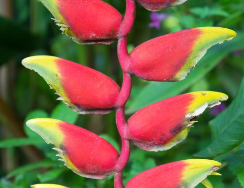 Heliconia Rostrata Flower at Barra del Colorado Wildlife Refuge