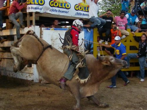 Jumping bull in Guanacaste