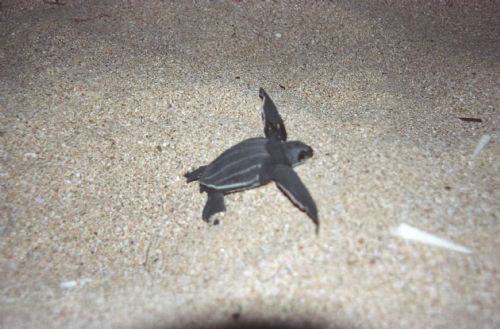 Leatherback Turtle's First Steps
