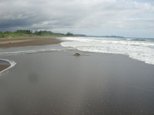 Olive Ridley Sea Turtle in Surf