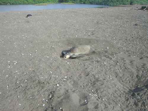 Olive Ridley Sea Turtle Laying Eggs