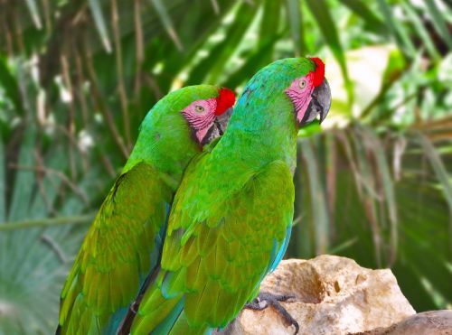 external image mlg-pair-great-green-macaws.jpg