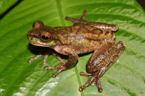 The rarest tree frog, Isthmohyla rivularis, � Andrew Gray