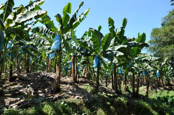 Conozca sobre la industria del banano go visit costa rica for Banano de jardin