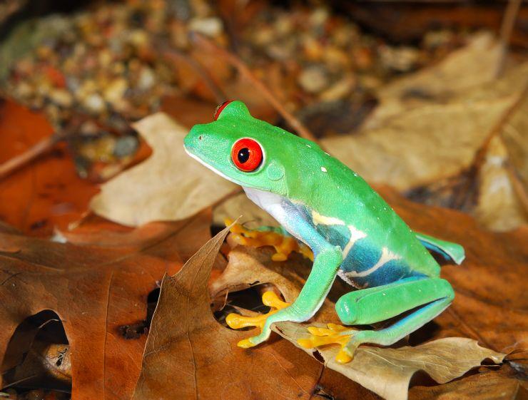 La famosa rana de ojos rojos de Costa Rica - Go Visit Costa Rica